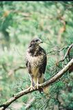 Buzzard in the wild. Buzzard is a very hard to observe. It`s a smart kind of bird. Take a look and be proud of this one. Just a spectacular buzzard in the wild royalty free stock photo