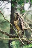 Buzzard in the wild. Buzzard is a very hard to observe. It`s a smart kind of bird. Take a look and be proud of this one. Just a spectacular buzzard in the wild royalty free stock image