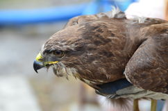 Buzzard Stock Photos