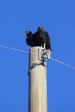 Buzzards. A pair of buzzards perched atop a utility pole Royalty Free Stock Photos