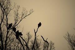 buzzards Imagem de Stock