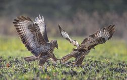 Attack of buzzards Stock Image