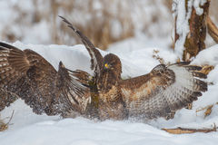 Buzzards disagreeing in the snow. Common buzzards fighting in the snow Stock Images