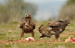 buzzards feed on carrion in the field Royalty Free Stock Photo