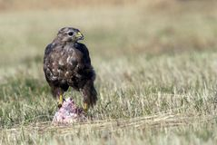 Buzzards feeding Stock Photography