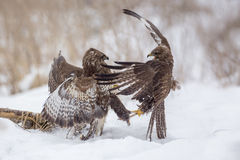 Buzzards fighting for dominance. Common buzzards fighting over food royalty free stock photo