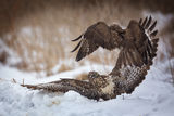 Buzzards fighting in snow Stock Photos