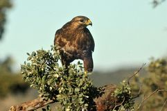 Buzzards perched Royalty Free Stock Photo
