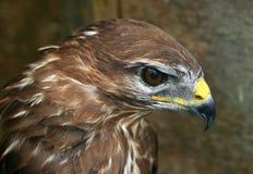 The Buzzards Profile. Profile of a buzzards head royalty free stock photography