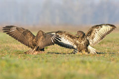 Buzzards Royalty Free Stock Photography