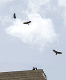 Buzzards on Roof. Two buzzards sitting on the roof. Three buzzards circling around. Shot with a Canon 20D Royalty Free Stock Photo