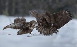 Buzzards in struggle. Buzzards struggle fight wings hunger royalty free stock photo