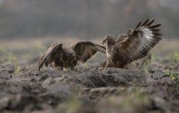Struggle of buzzards. Buzzards struggle wings flight fight talons royalty free stock photos