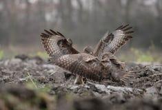 Struggle of buzzards. Buzzards struggle wings flight fight talons royalty free stock photography