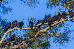 Buzzards, Social Birds of Opportunity Roosting. Stock Images