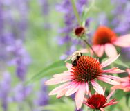 Buzzed. Bumblebee landing on a wildflower Stock Photography