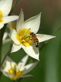 Buzzing Around. Daffodil and honey bee Royalty Free Stock Photo