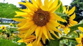 Buzzing bee Stock Image