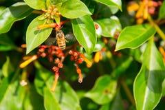 Buzzing bee Royalty Free Stock Photo