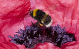 Buzzing bumble bee Royalty Free Stock Photo