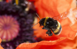 Buzzing bumble bee Stock Photo