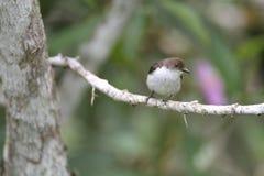 Buzzing Flowerpecker Stock Images