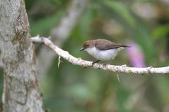 Buzzing Flowerpecker Royalty Free Stock Images