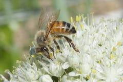 Buzzing the Leek Flowers. Bee gathering pollen off the bounteous leek flower Royalty Free Stock Images