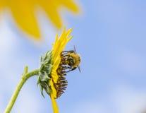 Buzzy que recoge todo el día el polen Imagen de archivo