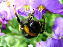 Buzzzzzz. Macro of Bumble Bee collecting pollen from flower Royalty Free Stock Photography
