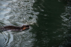 Bäver i vatten Arkivfoto