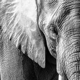 BW African Elephant. Monochrome close up of an African elephant face Stock Images