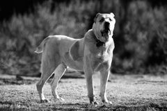 Bw alabai dog background Royalty Free Stock Images