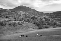 Bw cow landscape Royalty Free Stock Photography