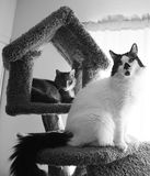 Bw domestic house cats. Photo of two black and white domestic house cats photographed in the Unites States Royalty Free Stock Image
