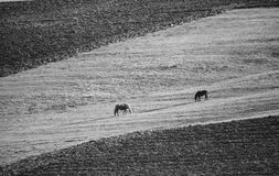 Bw horses landscape Stock Photo