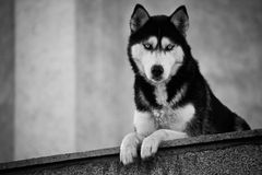 Bw husky dog Royalty Free Stock Photos