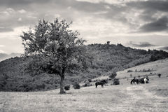 Bw landscape with horses Stock Photos