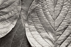 Bw leafs Stock Photo