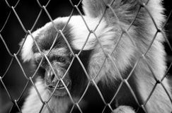 BW Life of the monky in the cage Stock Images