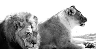 BW Lion and Lioness Royalty Free Stock Photography