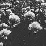 Bw onion flowers. Onoin flowers black snd white royalty free stock images