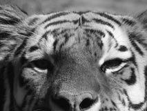 BW tigerframsida Fotografering för Bildbyråer