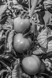 BW Tomato Royalty Free Stock Photography