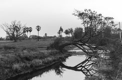 BW tone of green rice farm with dead tree Royalty Free Stock Photography