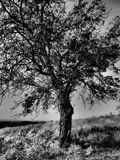 BW tree in autumn. Detail of a tree on a hill in Black & White. Dramatic tone filter applied Royalty Free Stock Photos
