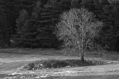 Bw winter tree Stock Images
