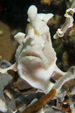 A bwhite pink frog fish looking at you in pescador island Philippines. Cebu stock images