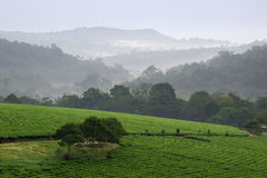 Bwindi tea plantations. Royalty Free Stock Image