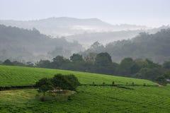 Bwindi Teeplantagen. Lizenzfreies Stockbild